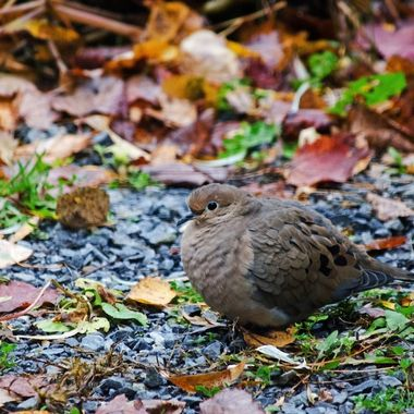 A dove with its feathers puffed up against the cold and damp.
