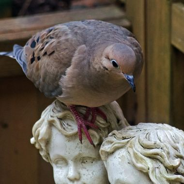 A dove on a garden ornament.