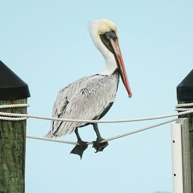 Pelican Acrobat