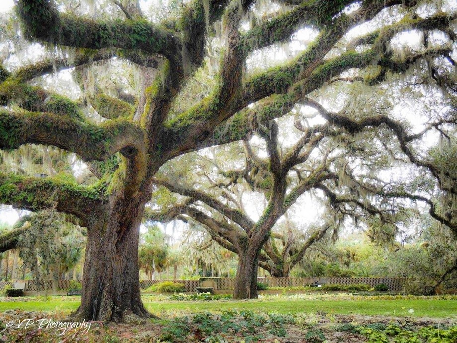 Live oaks trees in Brookgreen Gardens, located in Murrells Inlet, South Carolina
