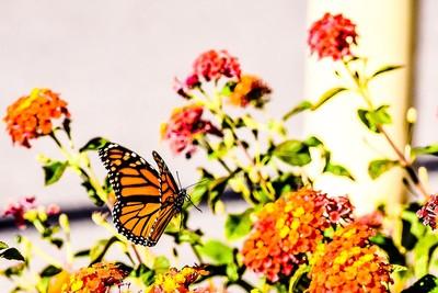 Butterflies ❤️ Butterflyweed