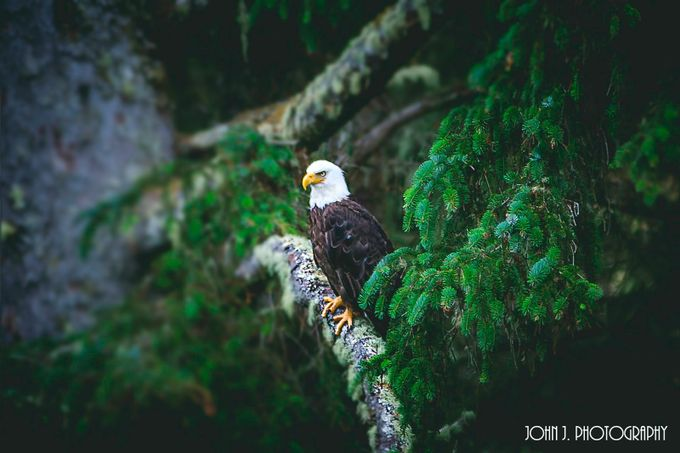 Eagle by JohnJPhotography - Just Eagles Photo Contest