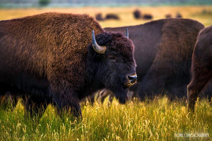 Buffalo by JohnJPhotography - Monthly Pro Vol 27 Photo Contest