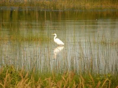 White Crane 2