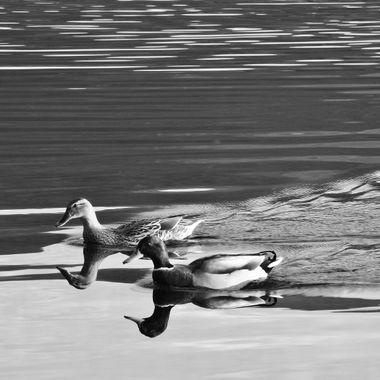 2 Headed Black and White Ducks