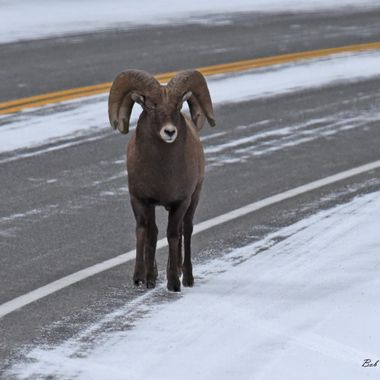 You have to take a double look at this picture. It is two Bighorn rams walking down the road between Cody and Yellowstone Wyoming.