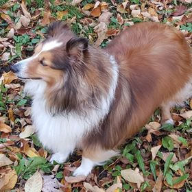 This is my six year old Sheltie named Lightning during one of our many walks.
