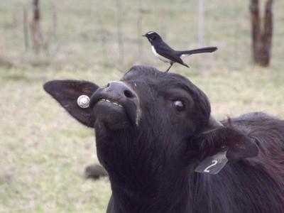 Buffalo calf and friend