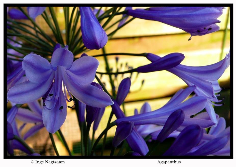 Agapanthus, flower of love