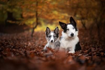 Autumn pups