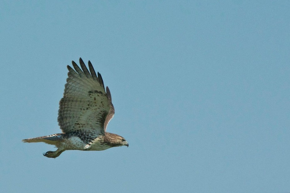 This hawk was in our neighborhood for the afternoon and I was able to snap several photos of it a...