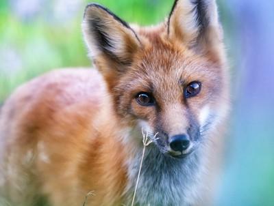 Curious-Fox