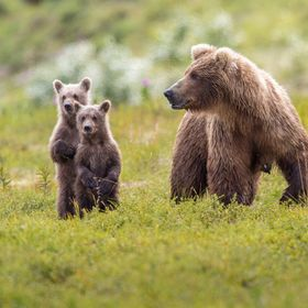 A mother brown bear and her cubs wait for her third cub in Katmai, Alaska
