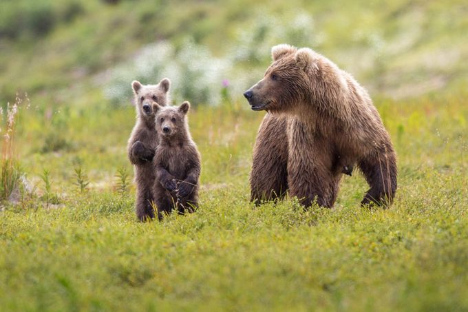 Where's the cub? by jimsteeves - Alaska The Wild Photo Contest
