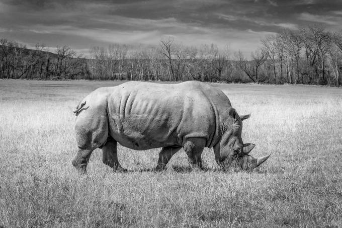 Rhino by Luca_DeGregorio - Animals In Black And White Photo Contest