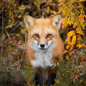 red fox in fall foliage.