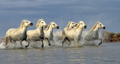 Camargue mares in the marshes