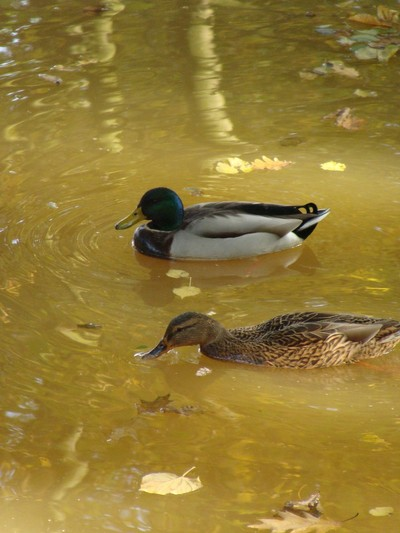 Ducks at the parc