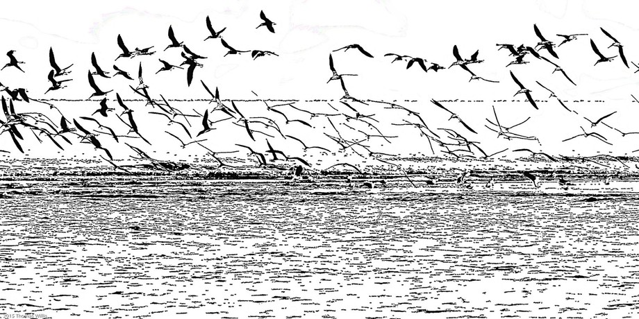 Galveston, TX, East Beach Road. The skimmers were on a sandbar near the ship channel and would fly off and then land in the same spot. It was a bright day. Processed in Lr and Topaz Simplify.