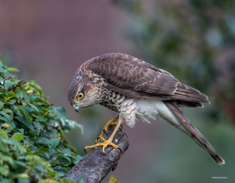 Male Sparrowhawk hunting for prey.