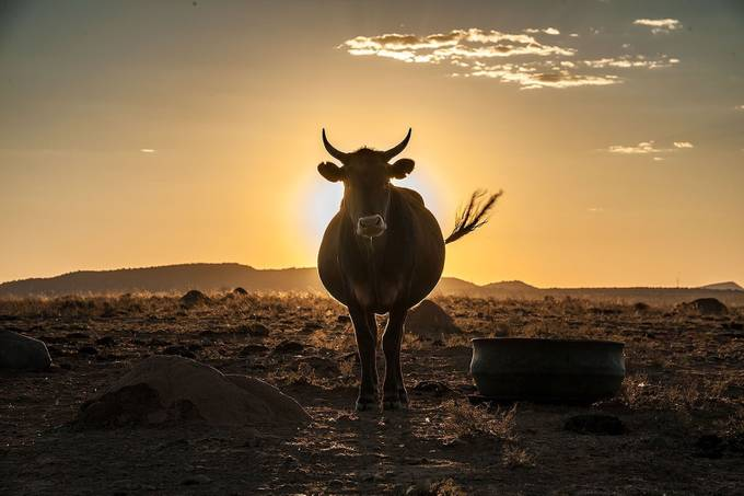 ox_sunset_2015_sarel_photowise by sarelvanstaden - Farms And Barns Animals Photo Contest