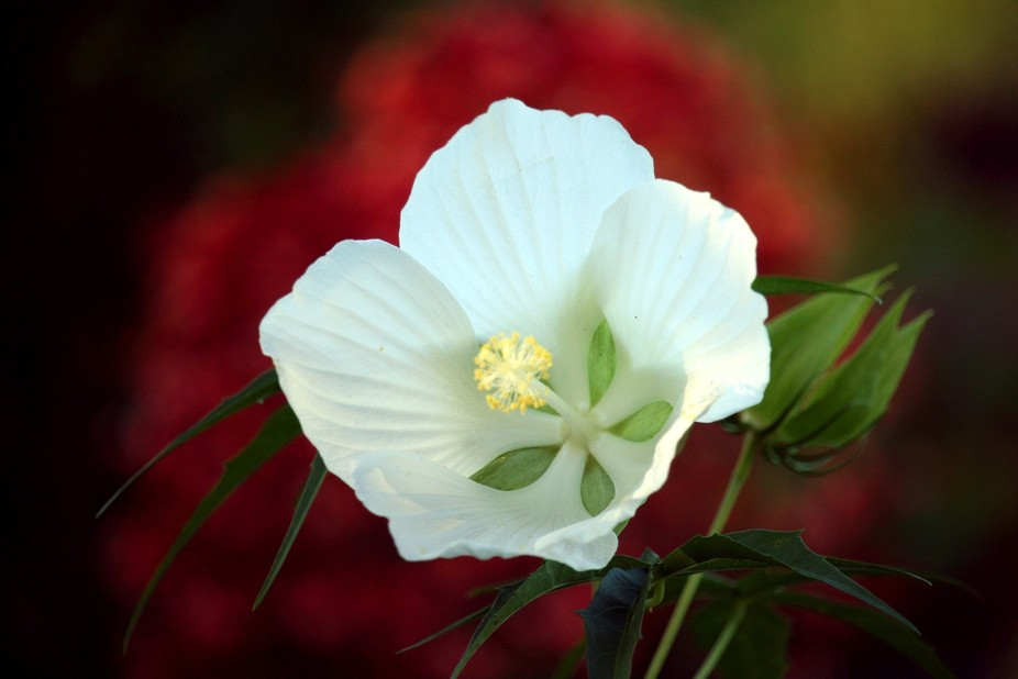 I was excited to see this White Texas Star Hibiscus, that I grew from seed, blooming for the firs...