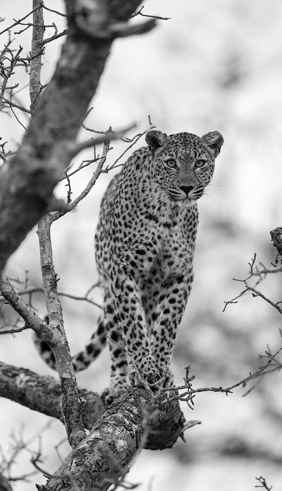 Is there something in that tree? by ChrisIS - Animals In Black And White Photo Contest