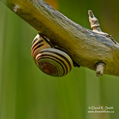 Grove snail clinging to branch in the midst of summer - Cepaea nemoralis - Photo by David R. Smith