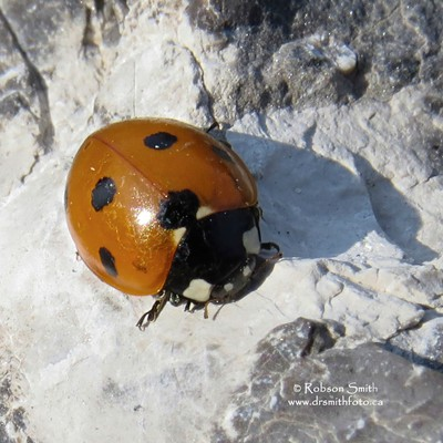 Ladybug sunning on guano covered Canadian shield rock - Photo by Robson Smith v2