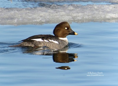 Female Common Goldeneye in swimming icy water at Tommy Thompson Park - Bucephela clangula - Photo by Robson Smith