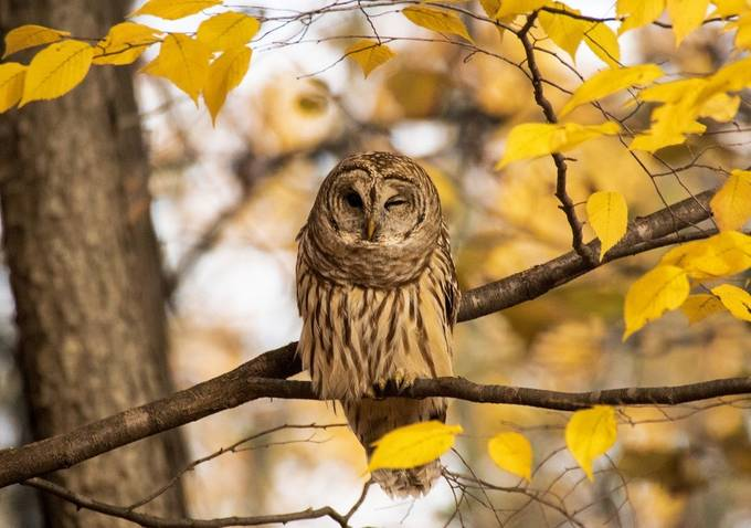 Bard Owl in tree by allanrowe - Only Owls Photo Contest