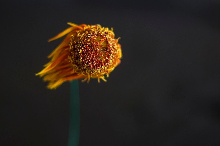 Close up of drying flower, using a Pentax K-r and old manual lens