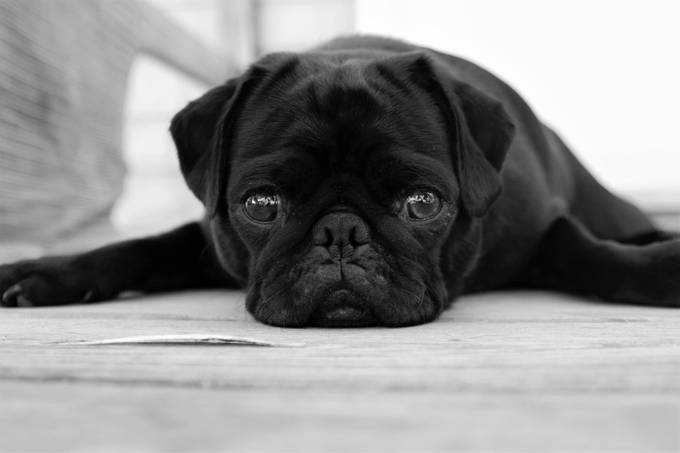 Lola the Pug by Wendy11 - Subjects On The Ground Photo Contest