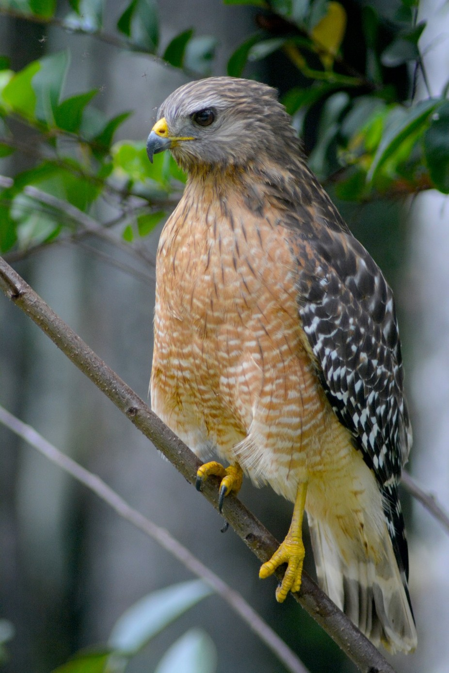 This Red Shoulder Hawk modeled for thirty minutes, in Big Cypress national Preserve.