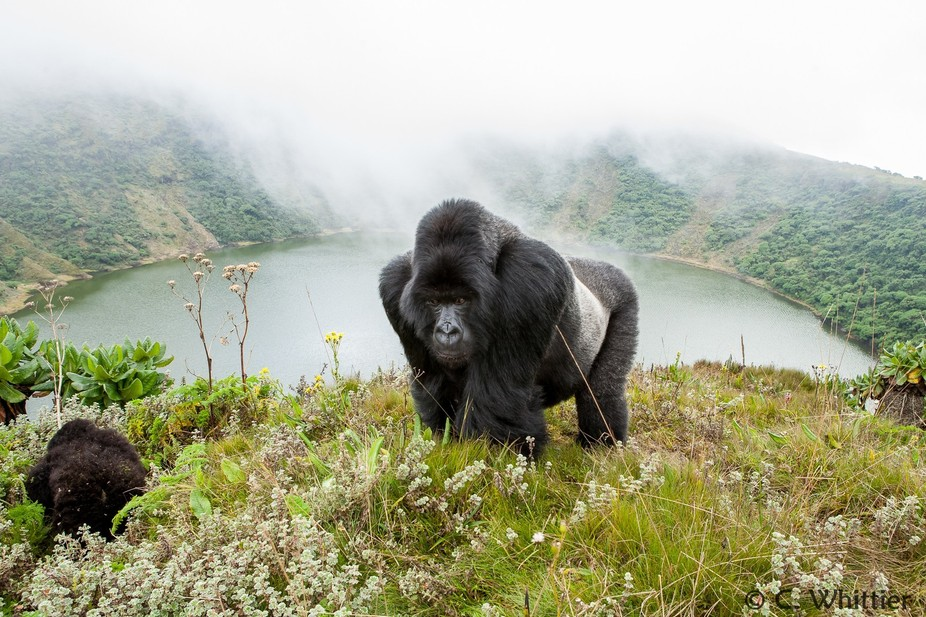 A silverback (adult male) mountain gorilla pauses on the rim of Mt. Visoke above its crater lake....