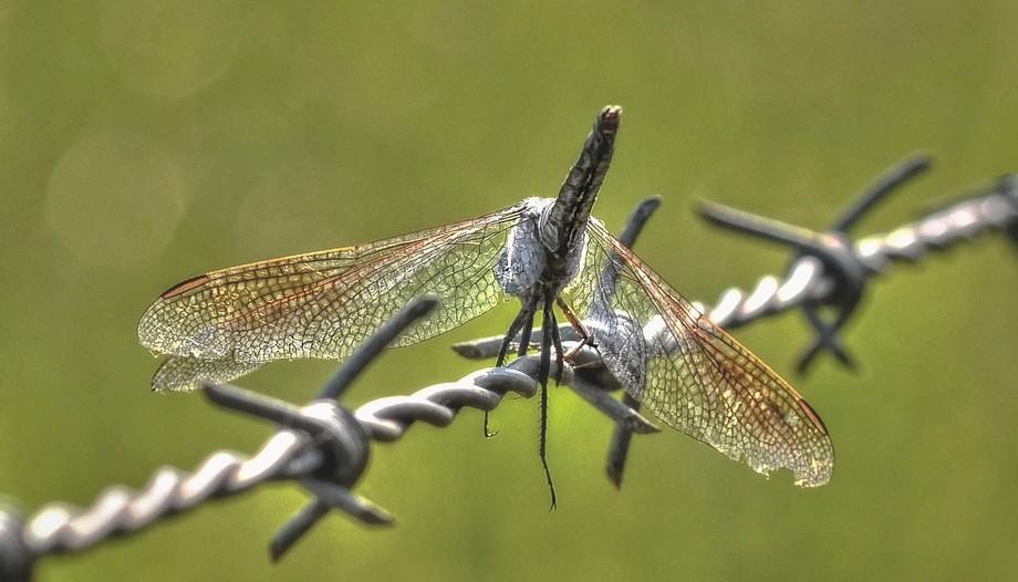 Dragon Fly (4)