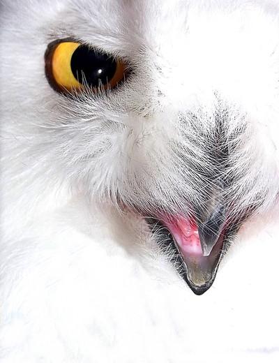 RIMG1853 snow owl