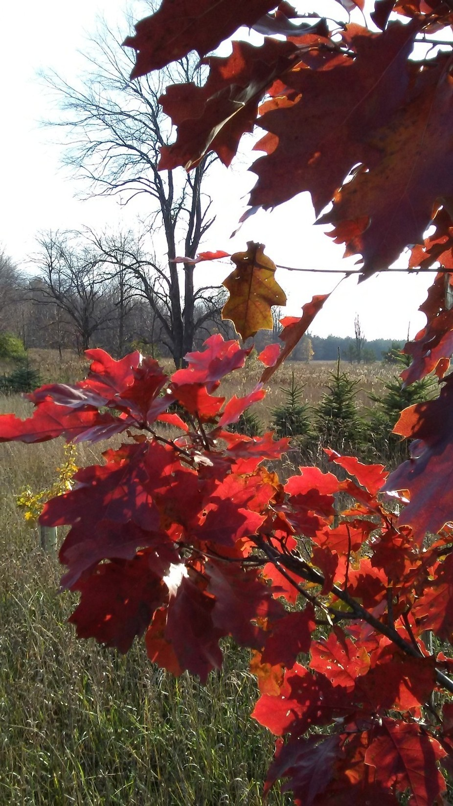A walk out back through the remaining red oak trees on a gorgeous sunny autumn day.