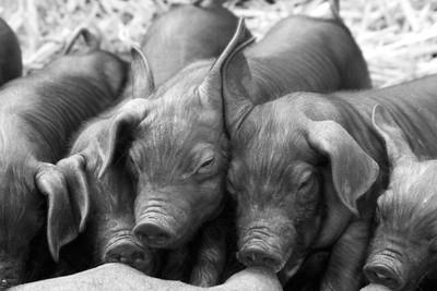 Piglet Ears High Five