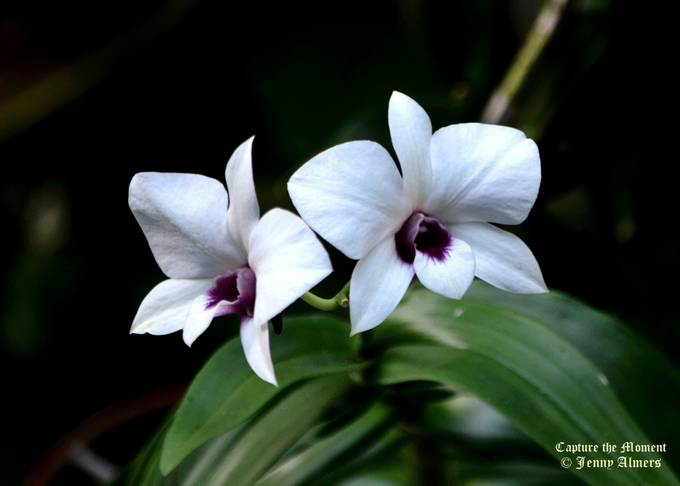 White Orchids with Purple Throat