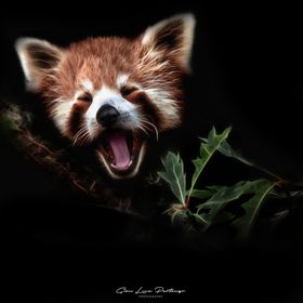 Black Animals Collection | The yawn of a sleepy but still sweet red panda.