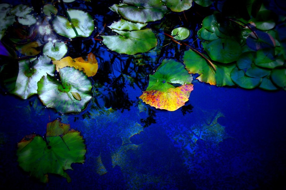Lilly Pad Blues