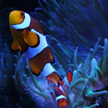 Aquarium at Chester Zoo, attracted to this striking vibrant clown fish.