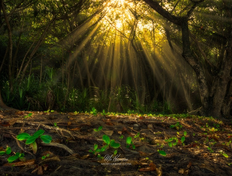 Sun Rays breaking through the woods in Kauai Island, Hawaii