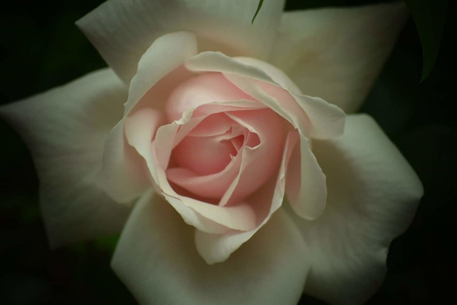 This perfect pink rose took my breath away when I saw it