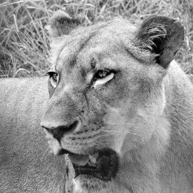Lion (1) in B & W