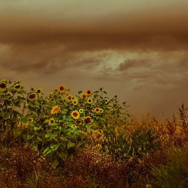 A stormy sky breaks into the golden light.  The golden sunflowers blend their hues, creating this magical mystical feeling in my garden!