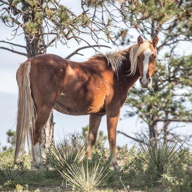 Shady Mustang