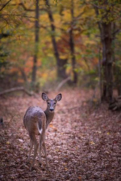 Deer Friend in Fall