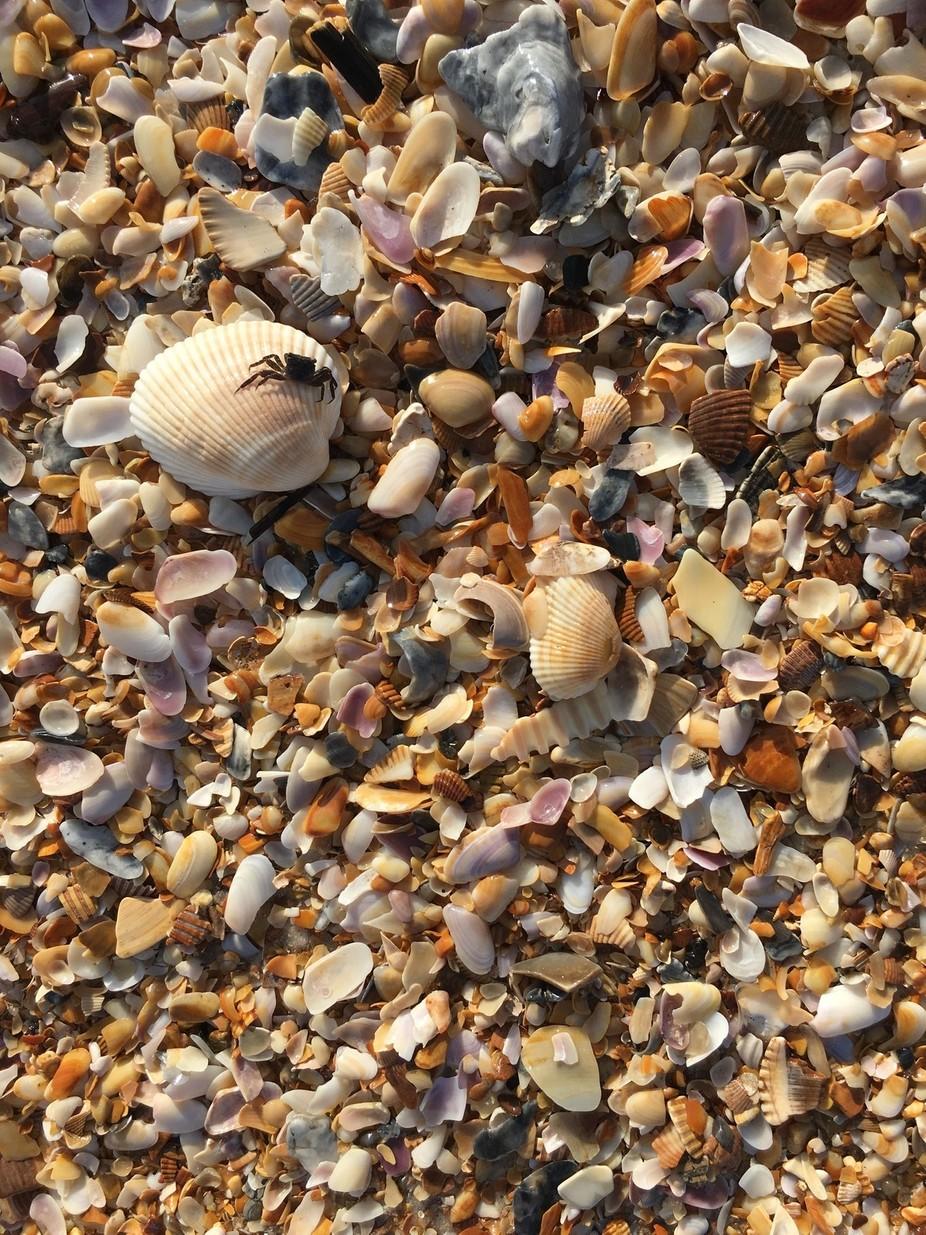 crab and shells!